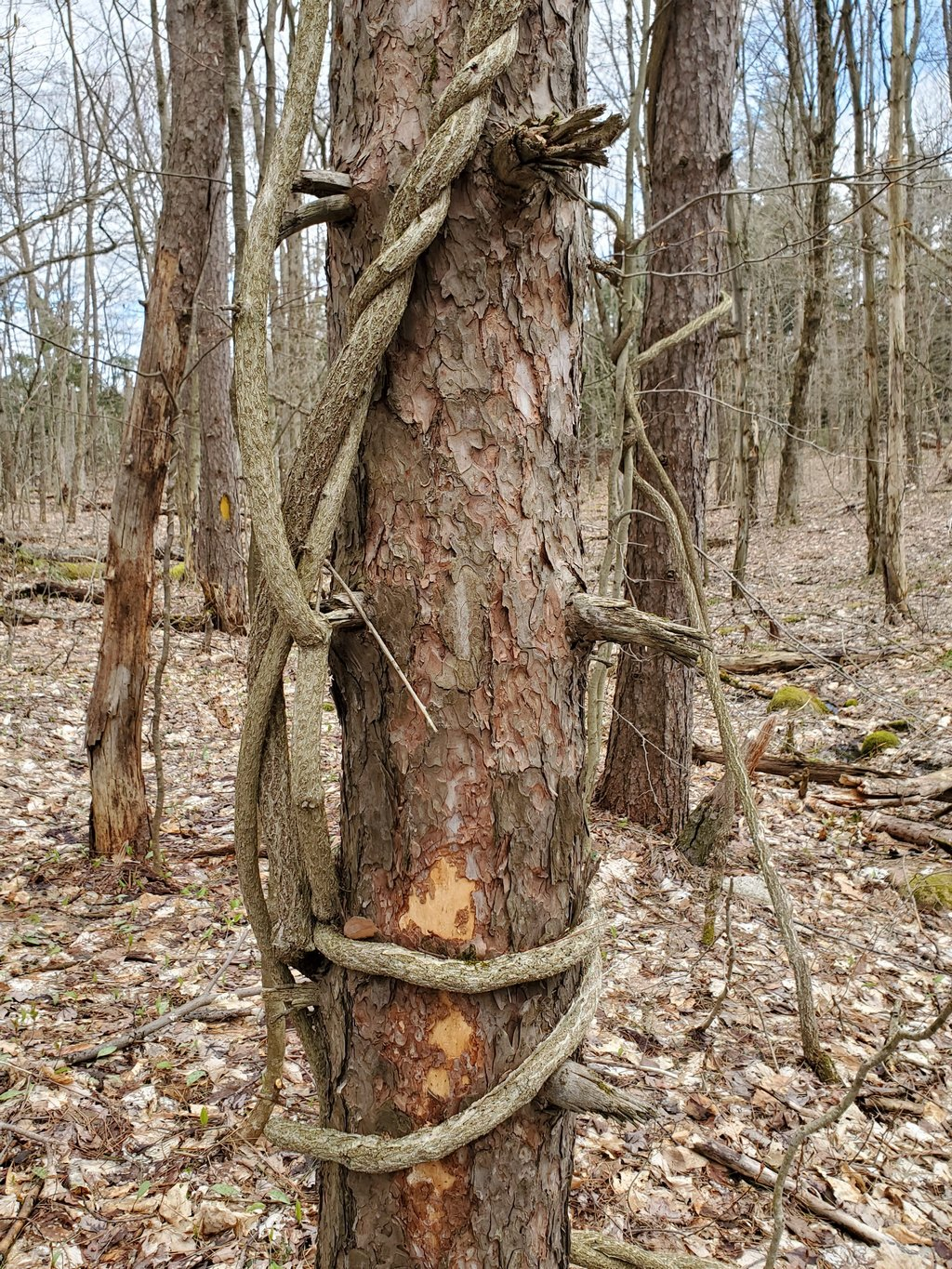 Huge vines on tree, new trail section (Blue Trail)