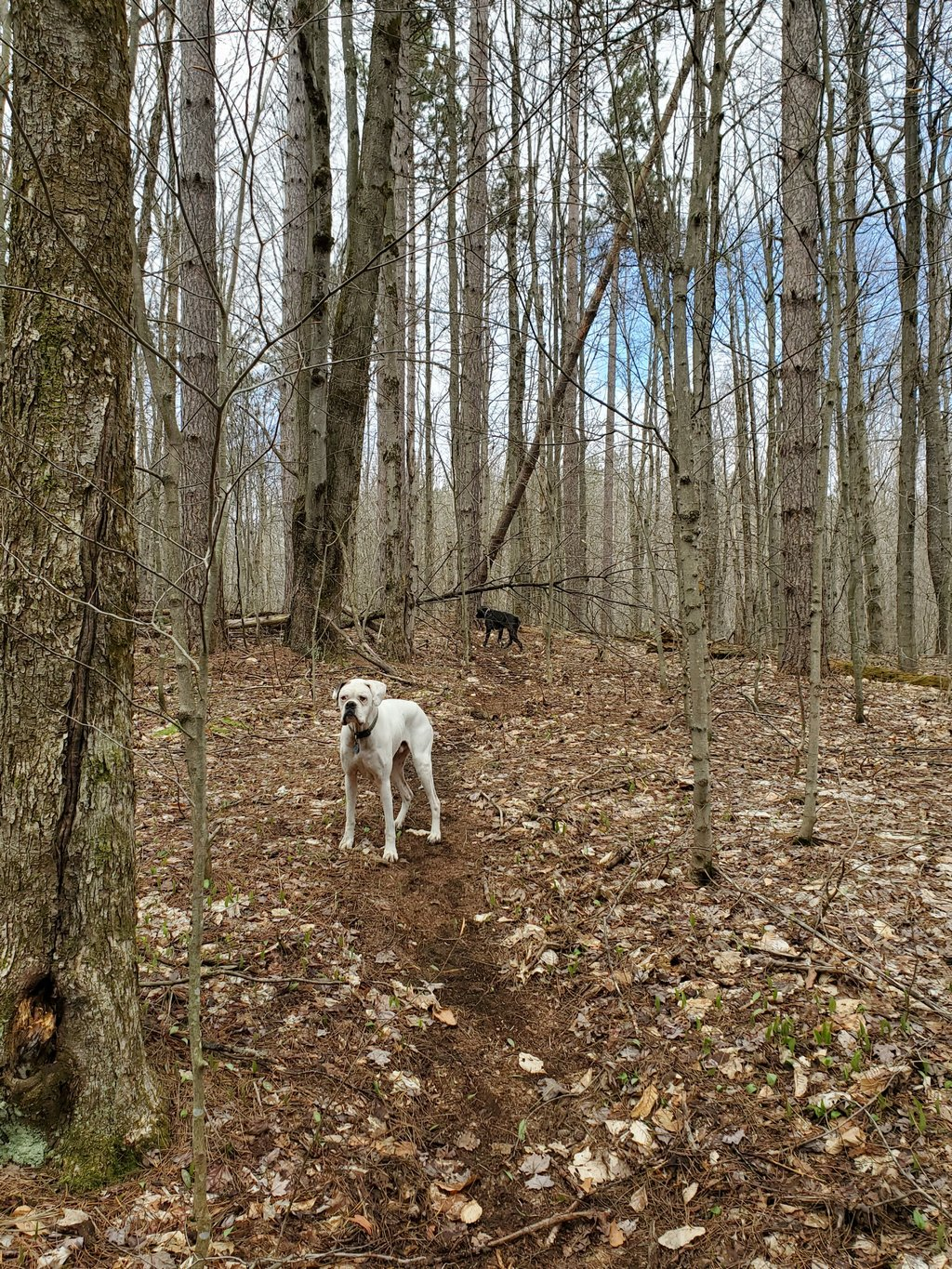Dogs enjoying new trail section (Blue Trail)